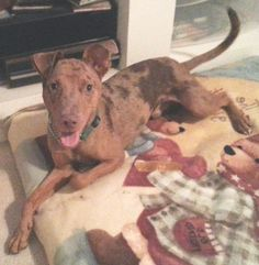 I am a male Catahoula/Vizla mix.  I am about 1 year old.  I am neutered, heartworm negative, current on shots, micro-chipped and on flea/heartworm prevention.  My adoption is $100.I was rescued from Animal Control where I was impounded as a stray. ...