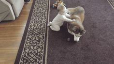 manextreme: gifsboom: Siberian Husky plays gently with baby....