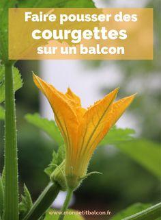 Faire pousser des courgette sur un balcon | Mon petit balcon Vegetables, Food, Gardens, Zucchini Flowers, Potager Garden, Balcony, Grasses, How To Make, Plants