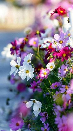 loriedarlin: cosmos flowers in the garden by Thunderbolt_TW (Bai Heng-yao) photography on Getty Images garden photography spring cosmos flowers in the garden Cosmos Flowers, Spring Flowers, Wild Flowers, Beautiful Flowers, Beautiful Nature Spring, Bloom, Flower Wallpaper, Beautiful Landscapes, Planting Flowers