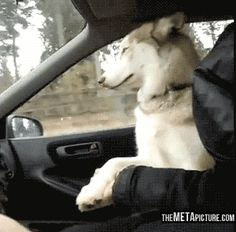 Dog needs reassurance while driving… GIF