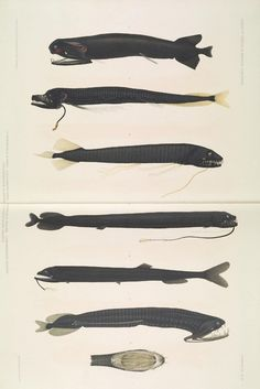deep sea fish   Tumblr