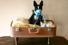 Boston terrier puppy in a suitcase