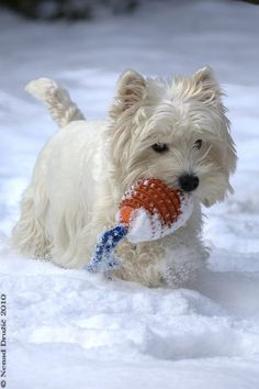 Fun in the snow...i  have a florida westie...he wouldn't know what to do with that snow..he likes sand and dirt