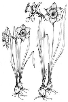 DAFFODIL (Narcissus pseudo-narcissus). Socrates called this plant the 'Chaplet of the infernal Gods,' because of its narcotic effects. An extract of the bulbs, when applied to open wounds, has produced staggering, numbness of the whole nervous system and paralysis of the heart.