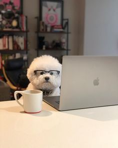 14 Perfect Facts About Bichon Frises Cute Funny Animals, Funny Animal Pictures, Cute Baby Animals, Animals And Pets, Baby Dogs, Dogs And Puppies, Doggies, Super Cute Puppies, Cute Dogs