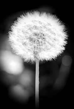 Dandelion, Blossom, Bloom, Flower, Black And White