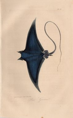 1834 Rare Antique Manta Ray Original Print 16 Engraving Hand Coloured Colored Comte de Lacepede L'Histoire Naturelle Sea Fish by TheLotAntiquePrints