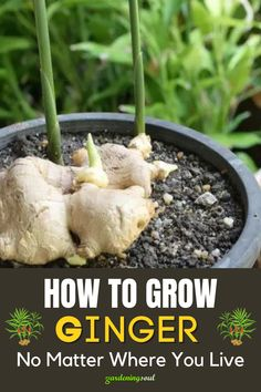 Growing Ginger, Growing Herbs, Growing Vegetables, Home Vegetable Garden, Container Gardening Vegetables, Edible Garden, Garden Planters, Plant Care, Garden Projects