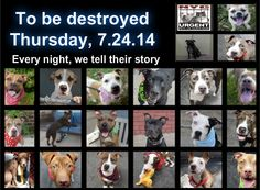 TO BE DESTROYED - 07/24/14 PITTIES ARE IN DANGER AGAIN. THERE ARE FAR TOO MANY TODAY!!! ALL THESE DOGS COUNT ON US!!! LET'S NOT LET THEM DOWN!!! PLEASE OPEN YOUR HEARTS AND PLEDGE, TAKE THEM HOME, BUT BE QUICK AS TIME IS TICKING AWAY. PLEASE BE QUICK WHEN MAKING UP YOUR MIND!!!  https://www.facebook.com/media/set/?set=a.611290788883804.1073741851.152876678058553&type=3