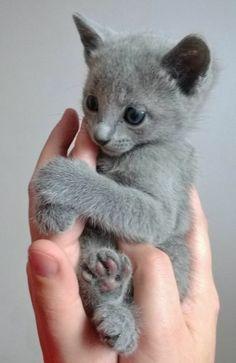 baby Katze Britisch Kurzhaar