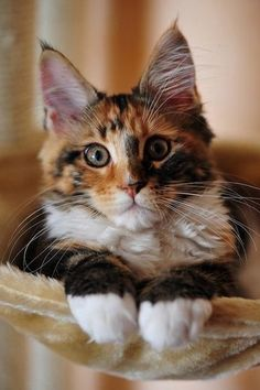 What a lovely mixture of colour on this big eared kitty…..