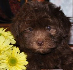 """Diego"" A chocolate Havanese from Denver Havanese! Must HAVE!!!"