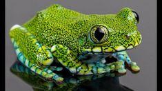 Bildergebnis für Peacock Tree Frog