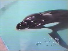 Remembering Captive Orca Junior: Kept in concrete warehouse at Marineland Canada for last five years of life