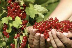 Suomalaiset pitävät herukoista, kertoo kysely. Kuva: Istockphoto. Fruit, Red