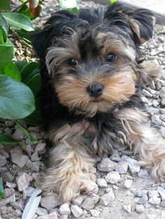 A girlfriend's Morkie!  Maks Higgins - one of the cutest babies ever!