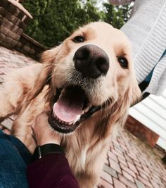 Golden Retriever - Why Are They The Perfect Pets - Doggie Woof Cute Puppies, Cute Dogs, Dogs And Puppies, Doggies, Chihuahua Dogs, Animals And Pets, Baby Animals, Cute Animals, Animals Beautiful