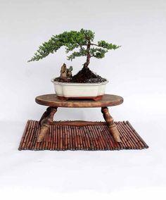 Juniper Prucambers Nana Bonsai tree by LiveBonsaiTree on Etsy, $49.00
