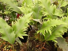 -Pyrrosia includes some very useful ferns....