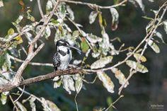 martín pescador pío  pied kingfisher (Ce