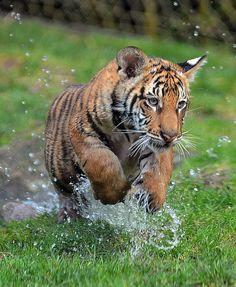 tiger cub 5963   Flickr - Photo Sharing!