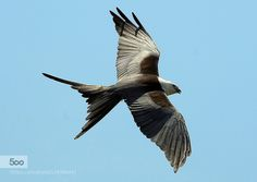 Swallow-Tailed Kite by gladner1 #fadighanemmd