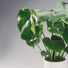 peperomia quadrangularis angulata indoor plants plants indoor plants garden