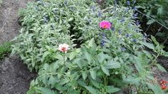 APRIL5, TOMATO PLANT, ZENIA,SALVIA