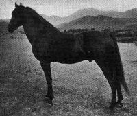 Jubilee De Jarnette, 1883 Morgan stallion by Jubilee Lambert out of unknown mare. Morgan Horse, Lineage, Photo Archive, Ash, King, Horses, American, Model, Animals