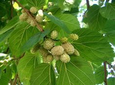 Morus alba, known as white mulberry, is a fast-growing, small to medium-sized mulberry tree which grows to m tall Mulberry Fruit, Mulberry Tree, Types Of Fruit, Beautiful Flowers Wallpapers, Home Garden Plants, Edible Plants, Plantation, Planting Seeds, Fruit Trees