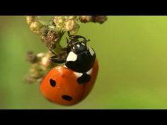 Life Cycle of a Ladybug YouTube Video