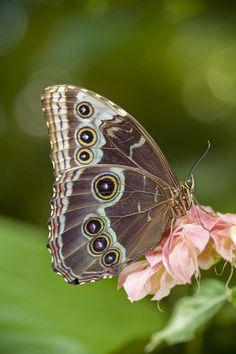 Giant Owl Butterfly - Caligo Eurilochus