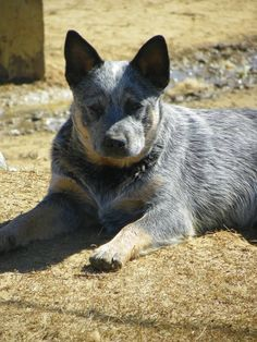 Blue Heelers ... one of the smartest dogs !
