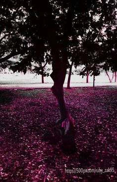 #Ruby_zakaria_photography #pinky #purple #tree #nature_photography #tree_captures #beautiful_nature #lovely_tree_love #pinky_autumn #autumn #شجرة #طبيعة_خلابة #تصويري_عدستي