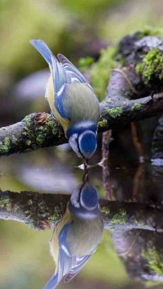 landture: Blue tit in water reflection by jwhd Pretty Birds, Love Birds, Beautiful Birds, Animals Beautiful, Hello Beautiful, Beautiful Things, Nature Animals, Animals And Pets, Cute Animals