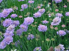 Seeds For Sale Online: Scabiosa / Pincushion Flower seeds for sale Shade Flowers, Cut Flowers, Pretty Flowers, Purple Flowers, Blue Garden, Colorful Garden, Dream Garden, Mk1, Flower Seeds