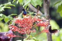 Yellow-Bellied Sun Bird with Butterfly