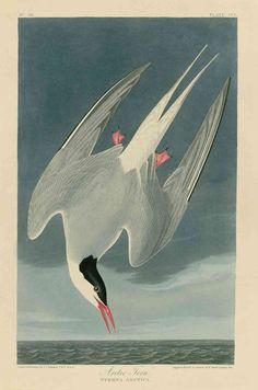 "john james audubon arctic tern   The ""Arctic Tern"" from John James Audobon's Birds of America makes a ..."