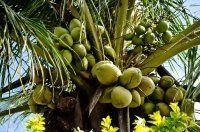 Kókuszolaj / Kókuszzsír - Minden, amit tudni kell + 4 kókuszolaj szépség recept - Topsmink beauty blog-Sminkek lépésről lépésre, sminktippek és trükkök - Topsmink Benefits Of Coconut Oil, Oil Benefits, Organic Coconut Oil, Health Remedies, Weed, Eye Makeup, Fruit, Plants, Blog