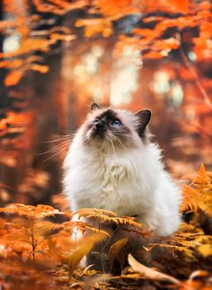 autumn forest by Thunderi on DeviantArt - Belezza,animales , salud animal y mas Cute Cats And Kittens, I Love Cats, Crazy Cats, Kittens Cutest, Animals And Pets, Funny Animals, Cute Animals, Pretty Cats, Beautiful Cats