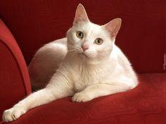 Czerwona, Kanapa, Biały, Kot