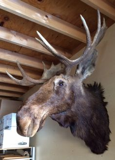 Hey, I found this really awesome Etsy listing at https://www.etsy.com/listing/266746057/taxidermy-moose-wall-mount