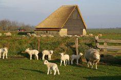 Schaapskooi met schapen