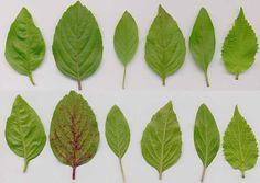 Ocimum basilicum: Basilkumblätter