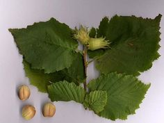 Common Hazel, Corylus avellana, is a vigorous, bushy native tree that makes a great country hedging plant for mixed hedges. It is shade tolerant, suitable for any soil and it bears edible nuts in autumn. Green Leaves, Plant Leaves, Hazelnut Tree, Hedging Plants, Runner Beans, Specimen Trees, Green Fruit, Plants Online, Plant Sale
