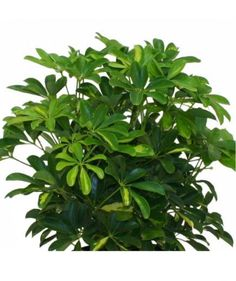 Creating a grouping by adding a leafy plant (or two) gives any space a fresher, more sophisticated look. A low-maintenance plant that thrives in natural light, like a schefflera, is a smart pick.