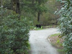 Bears:  when hiking bring your whistles.  This beauty spotted near Bower Rd in Highlands NC