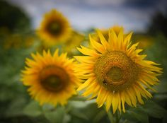 I got this one with my friend Scott Kublin one day in the south of France. We had Fabien pull over on a tiny little road so we could pop out and get some sunflower photos.  - Arles, France  - Photo from #treyratcliff Trey Ratcliff at http://www.StuckInCustoms.com