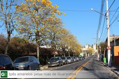 Ipês Amarelos Rua Coronel Ramalho em  Guararema-SP #guararema #ipesamarelos #guararematem